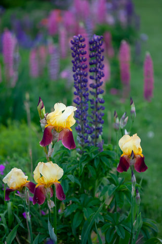 A close up photograph of 4 yellow and purple bearded irises in the foreground of a garden. Purple lupines are in the mid ground and  purple and pink lupines are in the background. Photograph created by Laura Cook of Vision Photography