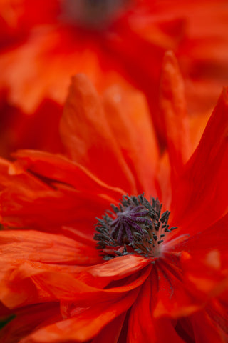 a close up of poppy photo by laura cook of vision photography