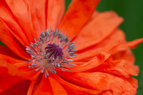 A close up photo of the poppy stamen. Photo by Laura Cook of Vision Photography