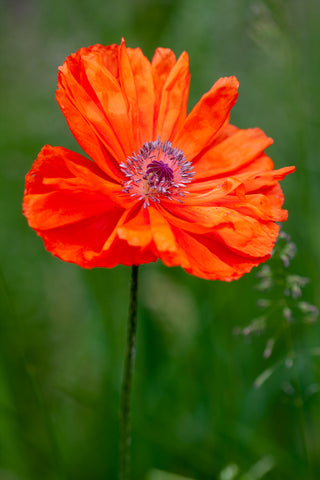 a single red poppy growing in the field, photo by Laura Cook of Vision Photography