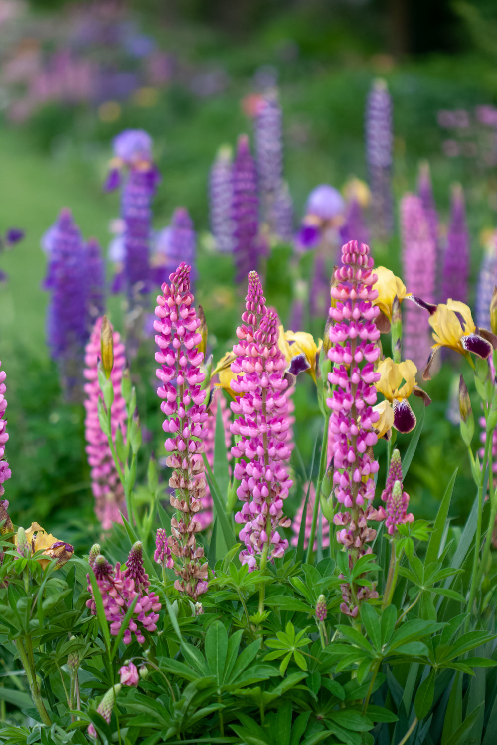 A close up photograph of pink lupines in the foreground with yellow bearded irises behind them and in the back ground blurry lupines photography by Laura Cook