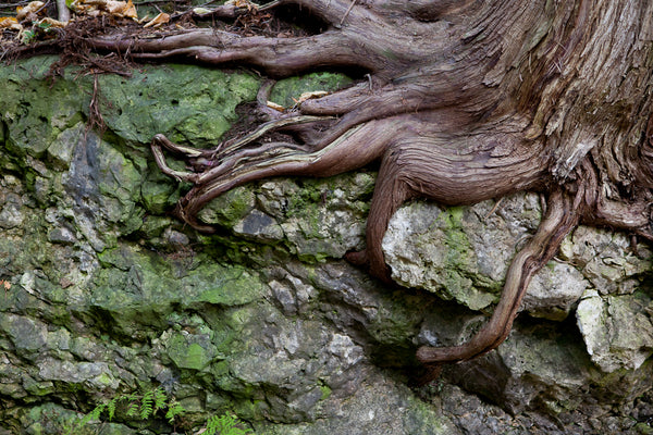 "photograph of tree roots called ""anchored"""