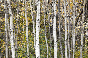 Photo of a stand of white aspens in the forest with yellow leaves of fall Photo by Cambridge Ontario Photographer Laura Cook of Vision Photography