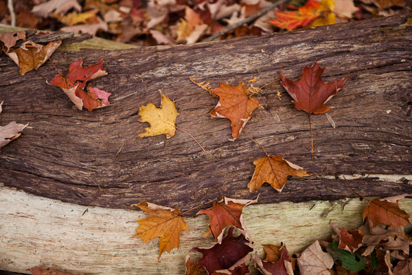 A uniquely rich photograph of fallen autumn maple leaves on a tree stump on the fall forest floor Photo by Cambridge Ontario Photographer Laura Cook of Vision Photography