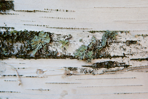 Unique photograph of close up birch bark. Texture, lines and patterns are all showcased in this close up look of a birch tree with green blue lichen on it Photo by Cambridge Ontario Photographer Laura Cook of Vision Photography