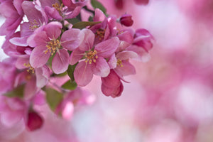 art print of spring blossoms