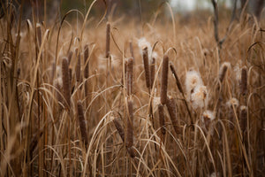 Photo of Bullrushes Photo by Cambridge Ontario Photographer Laura Cook of Vision Photography
