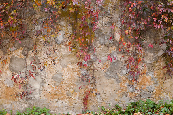 Photograph of crimson vines cascading down a textured stone wall Photo by Cambridge Ontario Photographer Laura Cook of Vision Photography