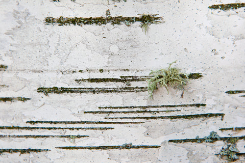 close up photo of a birch tree, with repeating lines and some fun green lichen this reminds me of Morris code hence why it is called dash dot Photo by Cambridge Ontario Photographer Laura Cook of Vision Photography