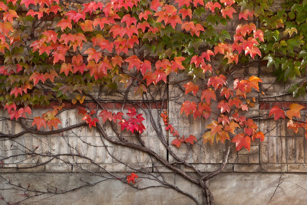 Fall Photograph of red and green vines climbing on a neutral brick wall  in the shape of a family tree Photo by Cambridge Ontario Photographer Laura Cook of Vision Photography