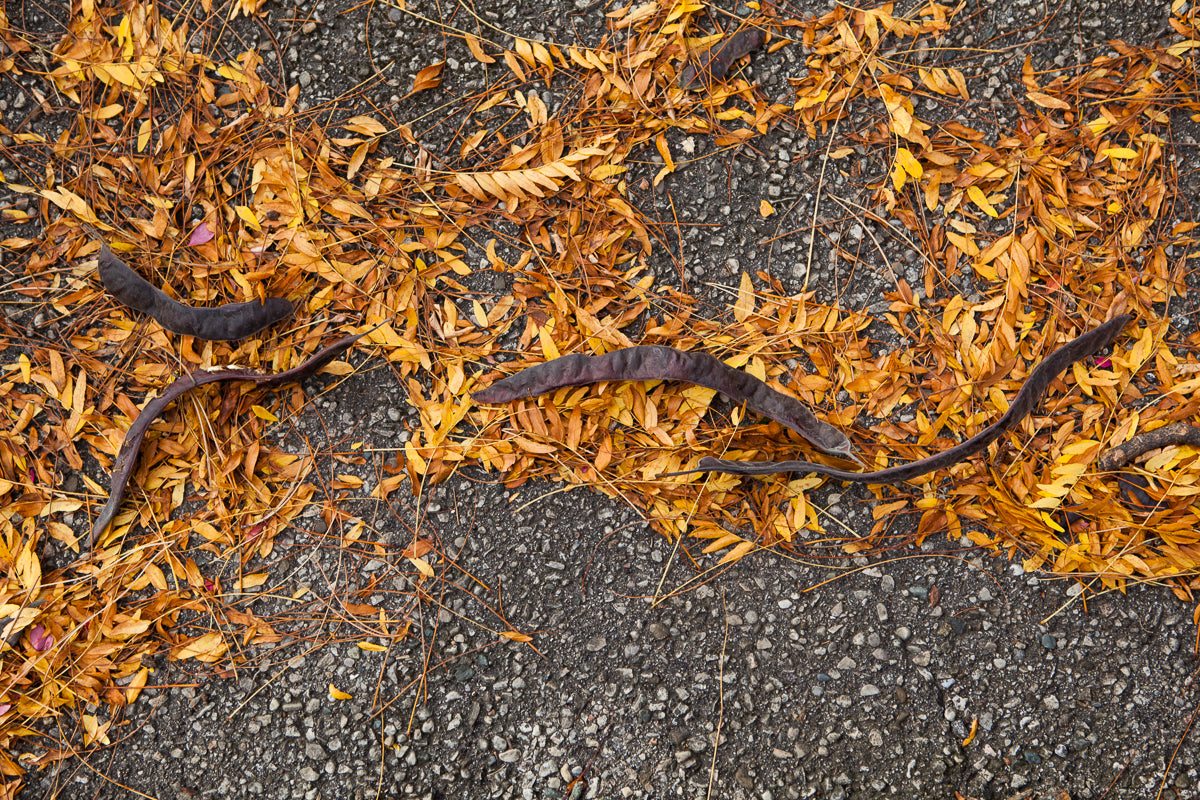 Photograph of yellow leaves and catalpa beans on the ground in the fall Photo by Cambridge Ontario Photographer Laura Cook of Vision Photography