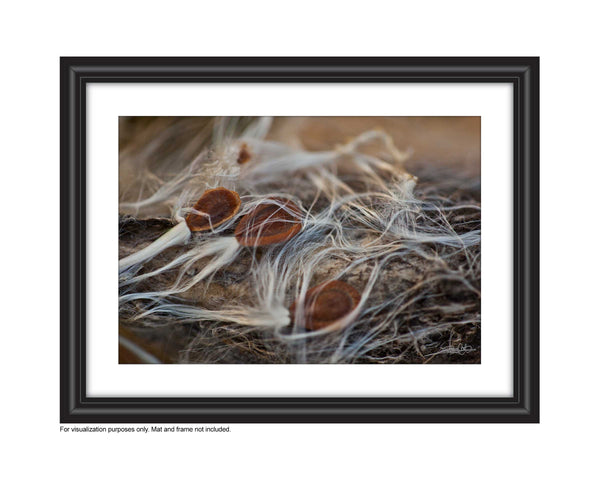 photograph of milkweed seeds on a milkweed pod with silky wisps Photo by Cambridge Ontario Photographer Laura Cook of Vision Photography