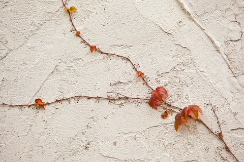 Close up Photo of red vine trailing up a wall split into two paths with crimson red leaves Photo by Cambridge Ontario Photographer Laura Cook of Vision Photography