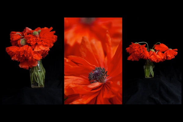 poppy greeting cards feature 3 different images of poppies one in the field and 2 are a study in the studio in a vase  created by Laura Cook of Vision Photography