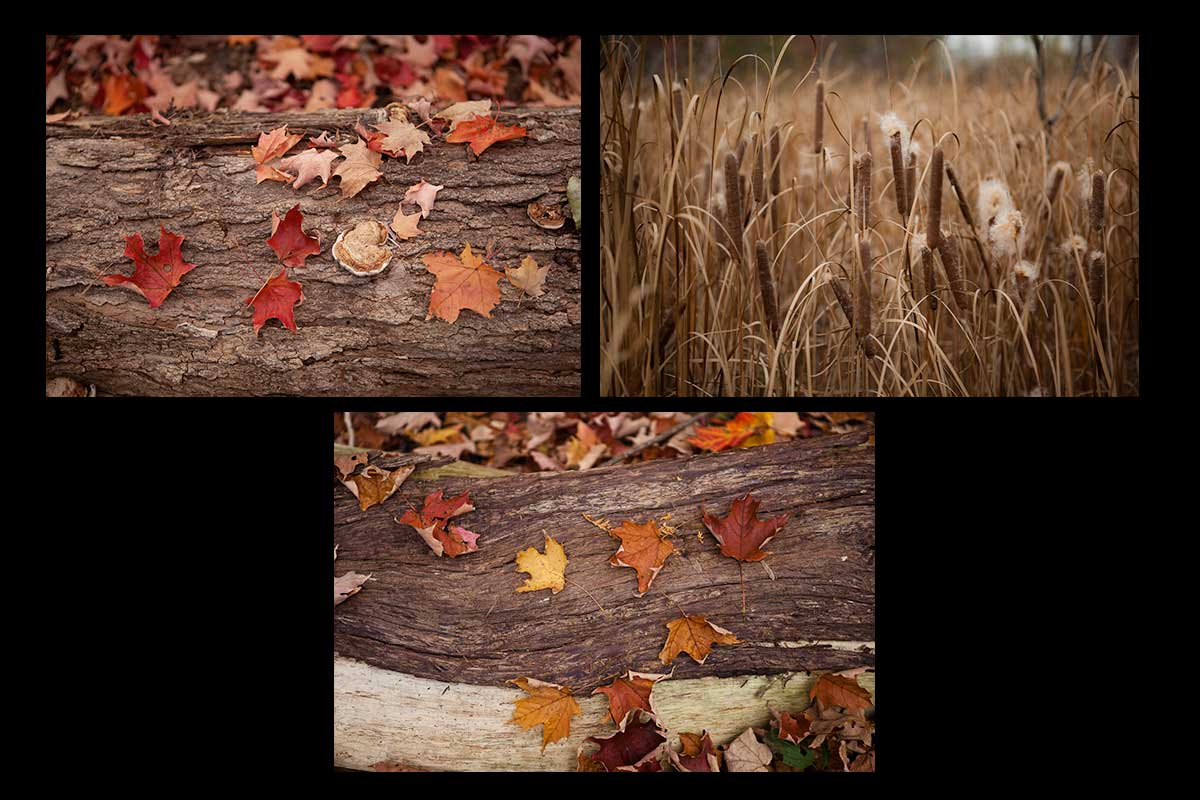 Fall photographs of fall leaves on bark and bullrushes Photo by Cambridge Ontario Photographer Laura Cook of Vision Photography