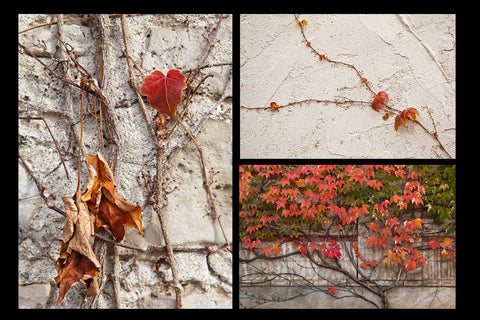 Photographs of rich red vines in the fall  growing on a wall Photo by Cambridge Ontario Photographer Laura Cook of Vision Photography
