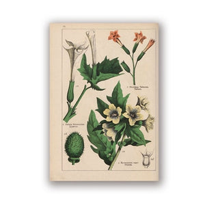 Botanical Collection Vintage Posters and Prints Herbs 1898s