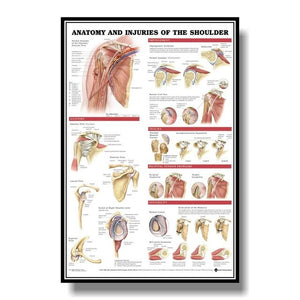 Muscular System Anatomical Poster Muscle Anatomy Chart