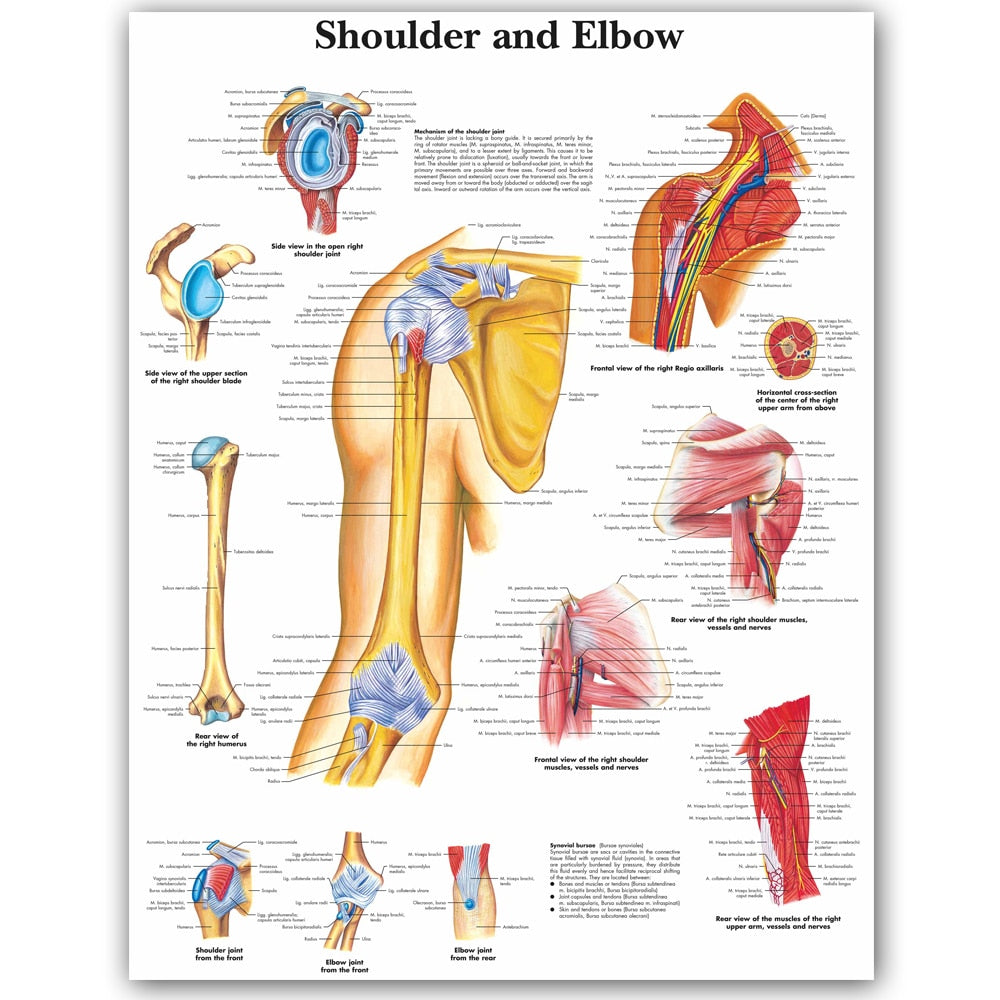 Shoulder and elbow Anatomical Charts Posters