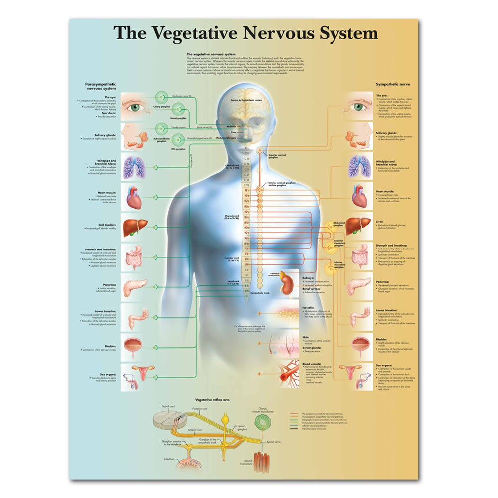 Vegetative Nervous System Chart Poster Print Canvas