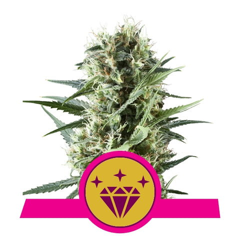 Seminte 'Royal Queen Seeds' Special Kush #1 x3
