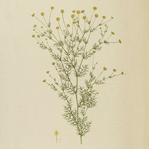 Chamomile relaxes skin