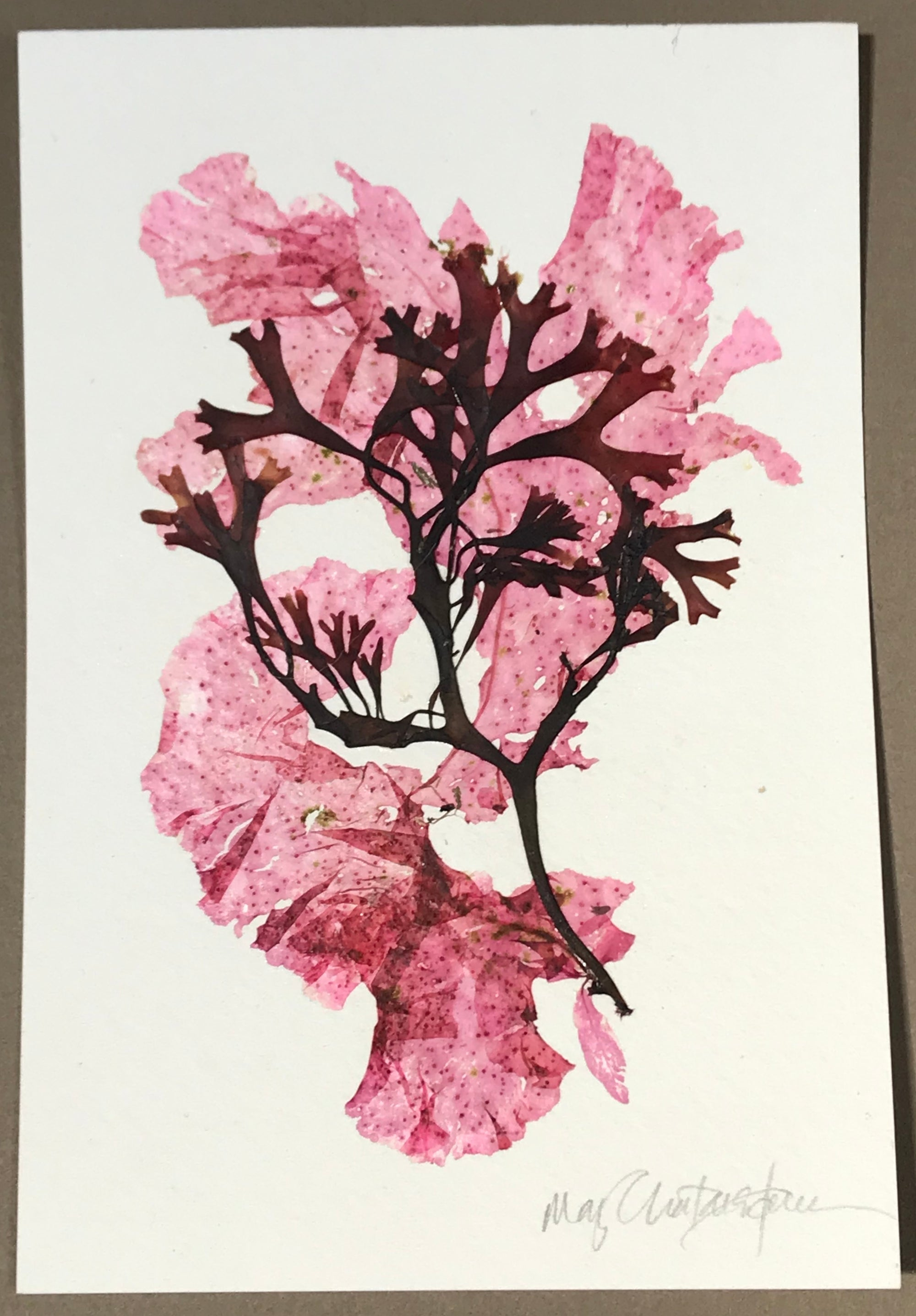 Original Marine Botanical Pressing: Sakonnet Summer Collage