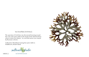 Sea Snowflake (Irish Moss)
