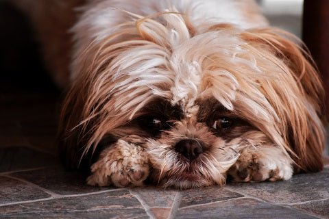 cbd for separation anxiety in dogs