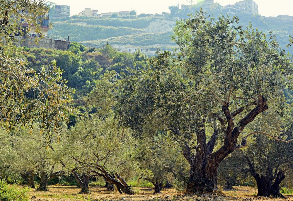 olive grove southern spain