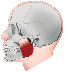 A diagram showing the masseter muscle on the side of the jaw