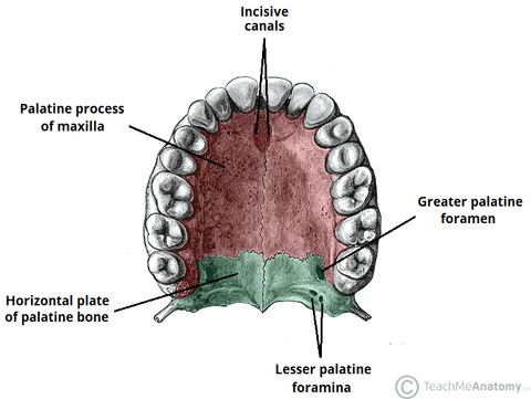 a diagram of the palate