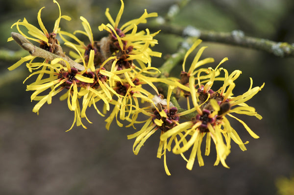 Witch Hazel - Organic & Alcohol Free