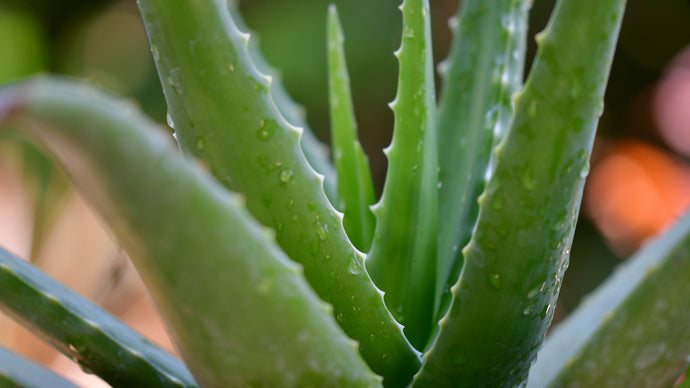 Is Aloe Vera The Secret To Flawless Skin?