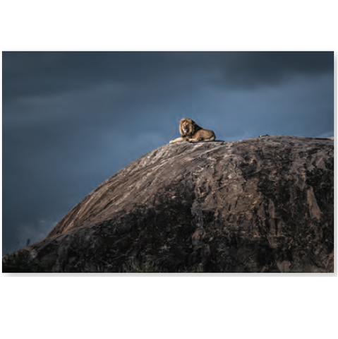 Wildlife Photographer of the Year Lion King Mini Print