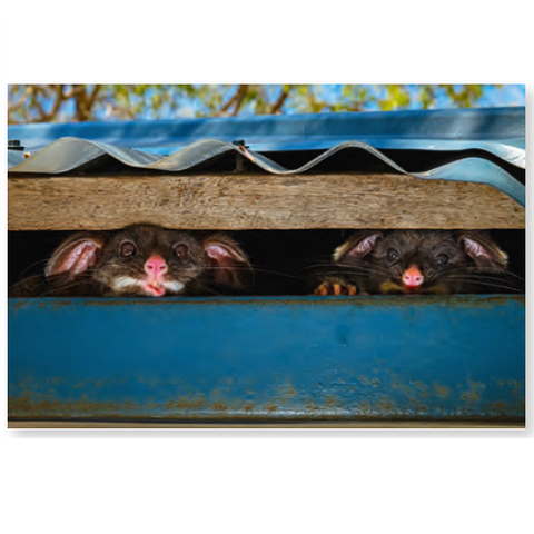 Wildlife Photographer of the Year Peeking Possums Mini Print