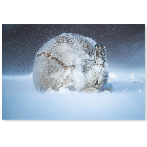 Wildlife Photographer of the Year Hare Ball Mini Print