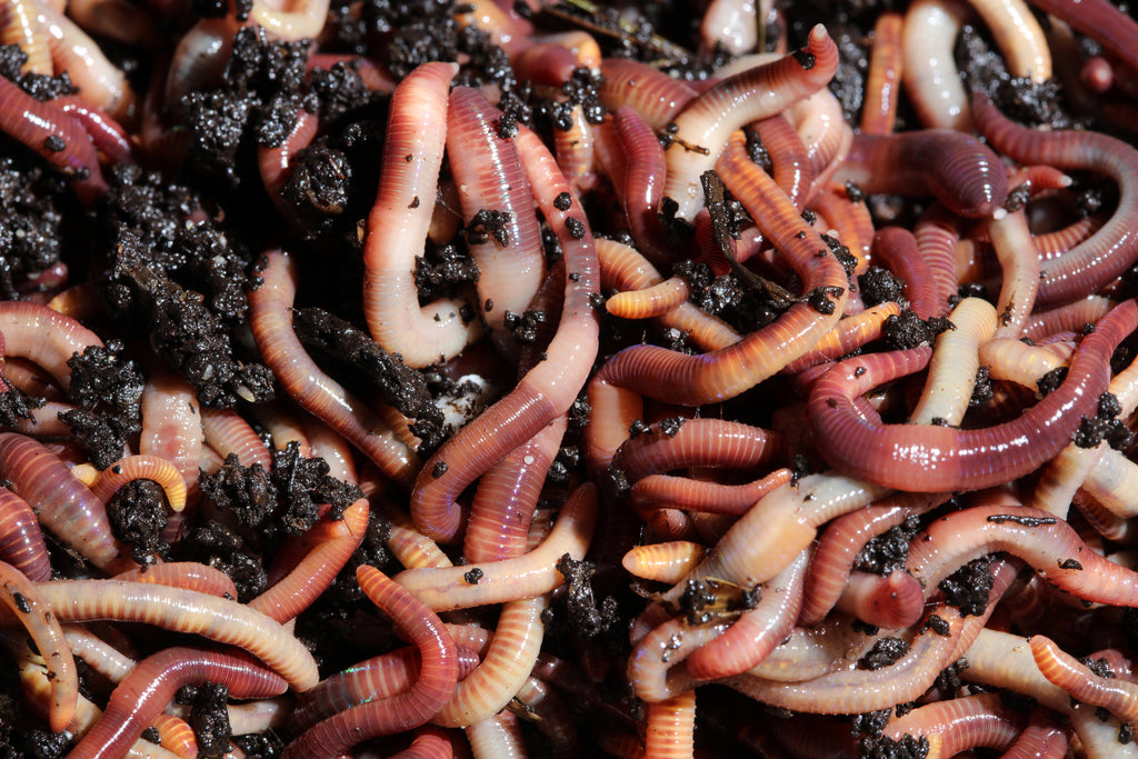 Red wiggler compost worms (eisenia fetida) - Wormbox.ca