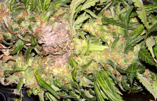 What is Bud Rot