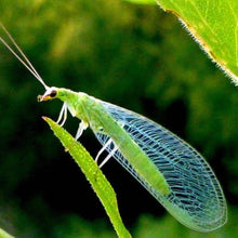 Green Lacewing Adults, beneficial insects