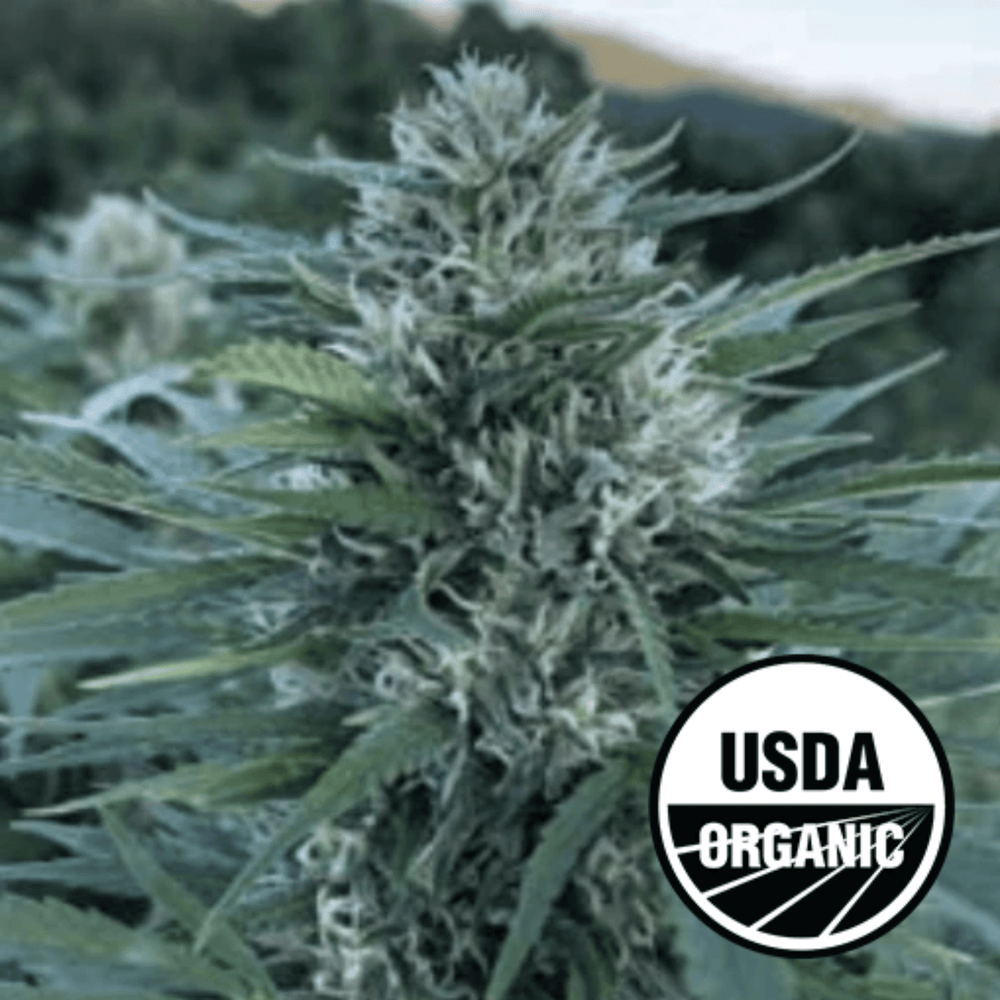 Load image into Gallery viewer, First Class CBG Certified Organic Hemp Clones