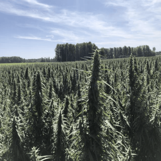Grizzly Feminized Hemp Seed in Field