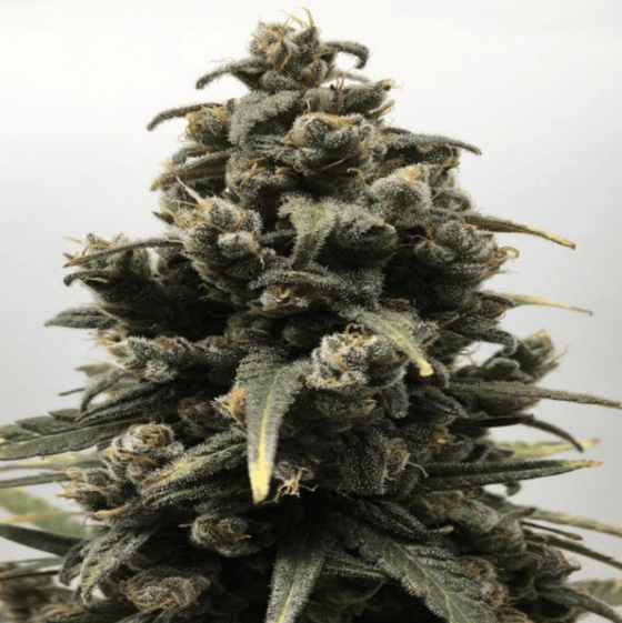 Grizzly Feminized Hemp Seed Flower Production
