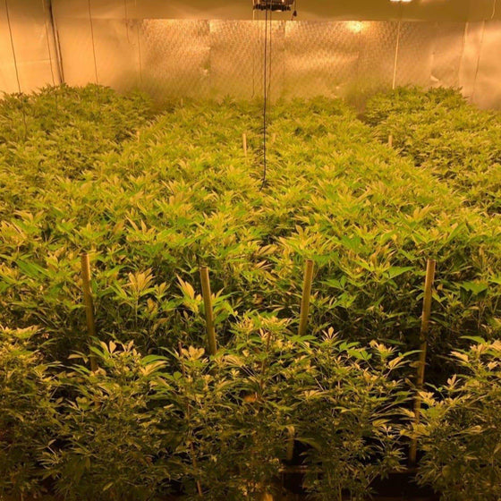 KLR C5 Gas Hemp plants indoor organic plants image