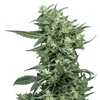 Sovereign Fields Lightning AutoFlower hemp plant
