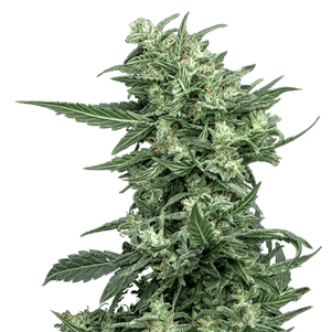 Load image into Gallery viewer, Sovereign Fields Lightning AutoFlower hemp plant