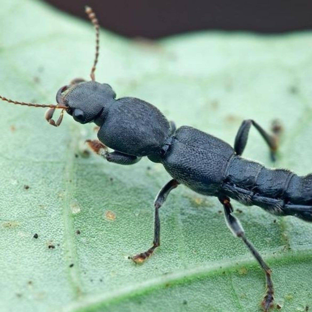 DALOTIAforce™ Predatory Rove Beetle, beneficial insects