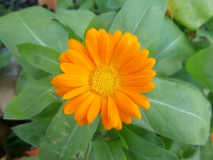 Calendula and the Lily of the Valley