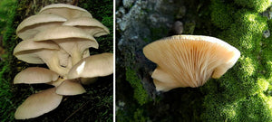 Spring Oyster Mushrooms