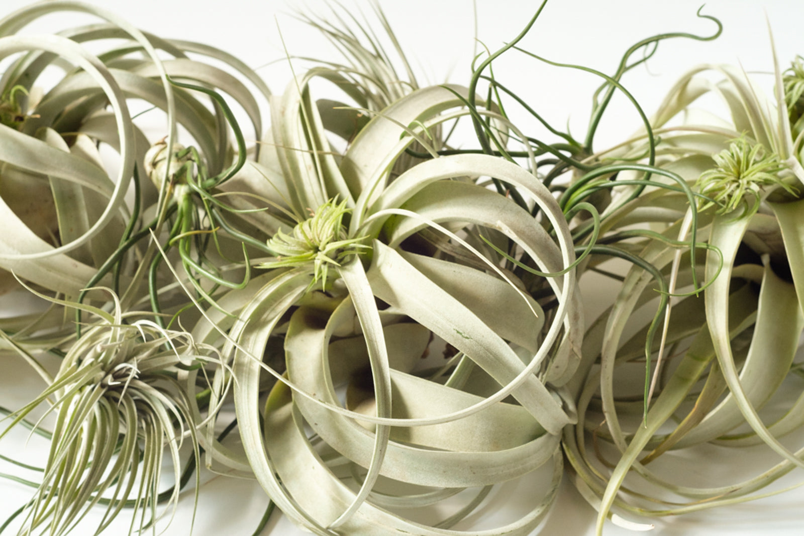 Elan Flowers air plant collection